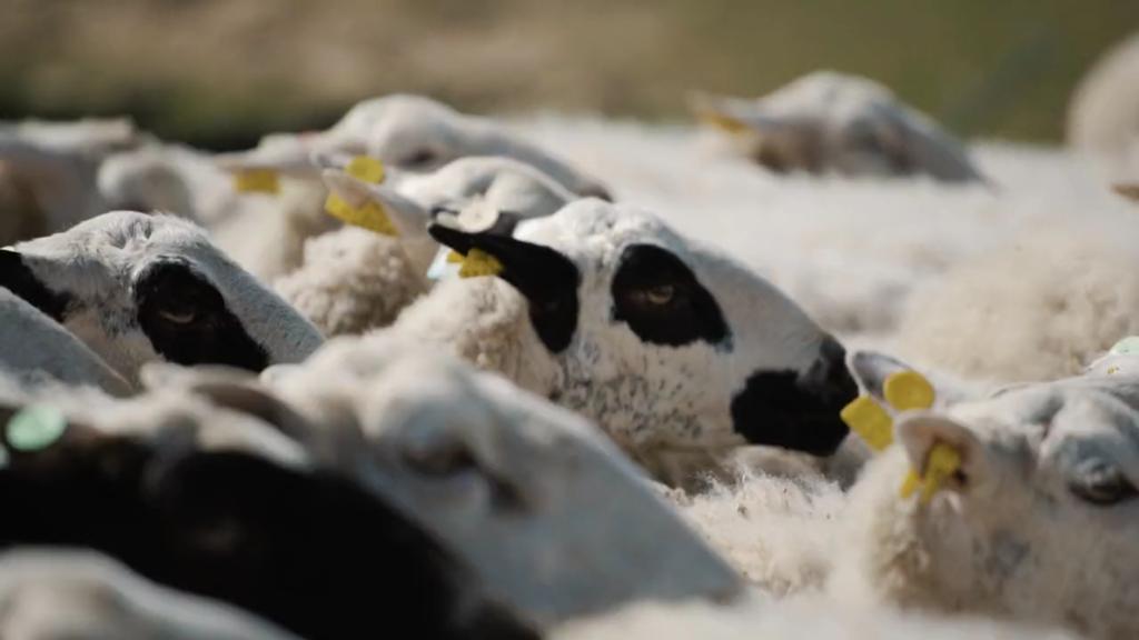 ovejas en Ares del Maestrat
