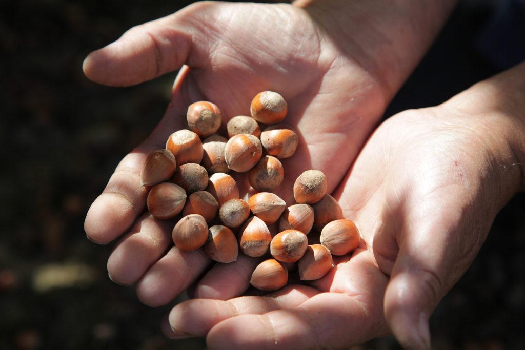 La avellana, el fruto más preciado de Benassal